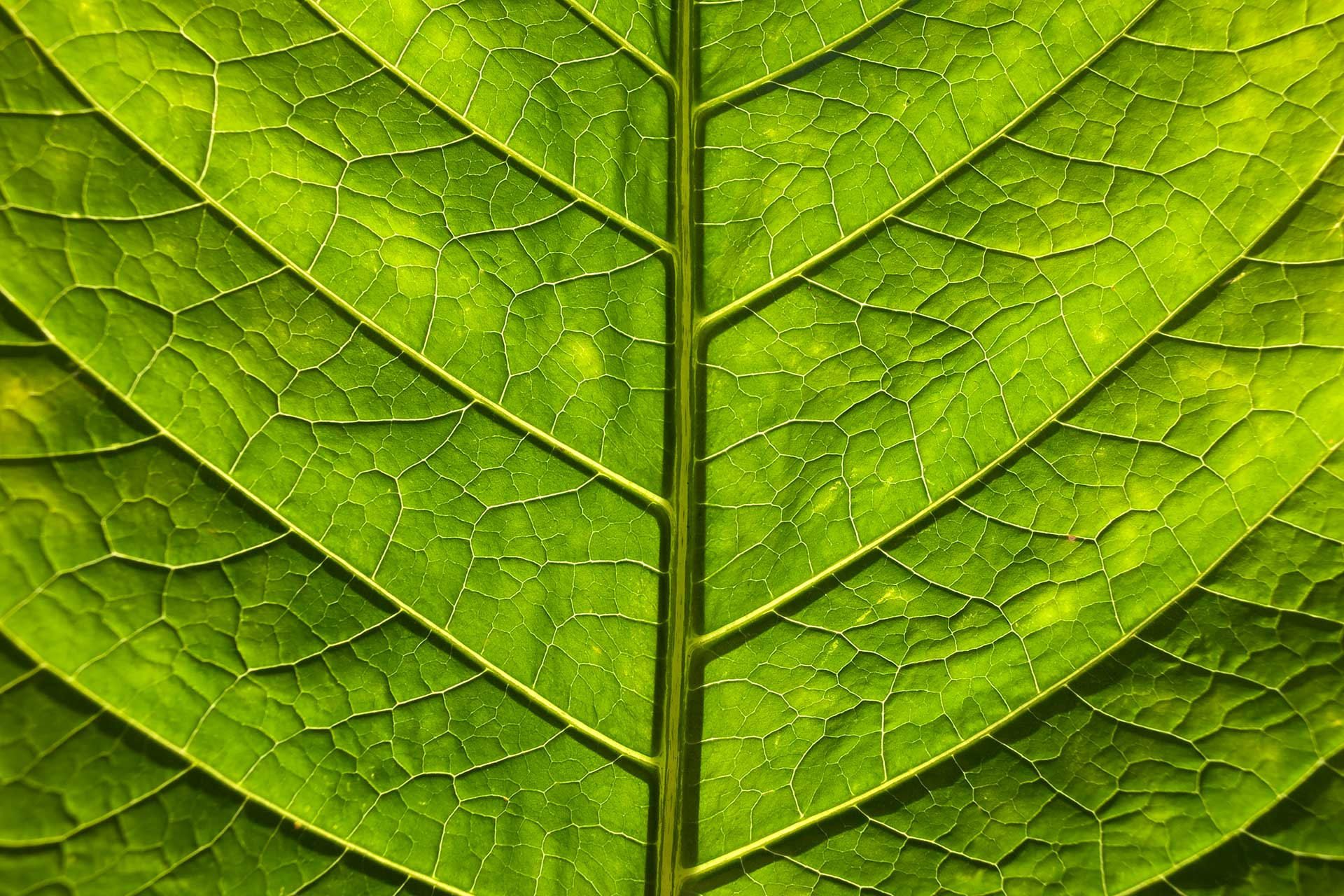 Close up Green Leaf Vein Structure